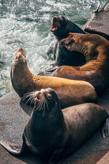 wild sea lions at the coast of Oregon Maritime Sea Lion Sea Lions Animal Mammal Mammals Ocean Sea Wild