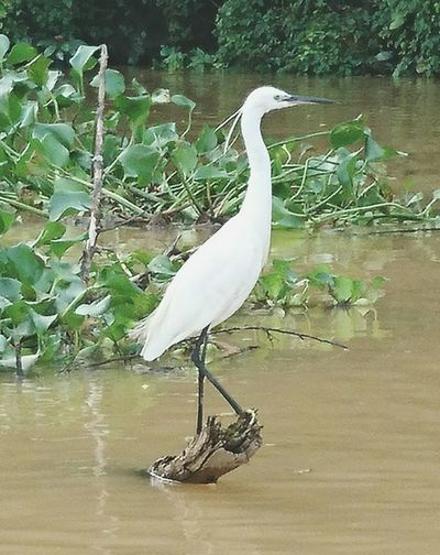 Little Egret at Kinabatangan river Borneonaturelodge Rivercruising