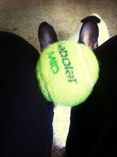 take the ball! Frenchbulldog