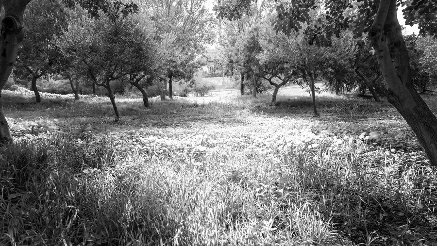 Tree Plant Land Tranquility Grass Day No People Nature Growth Beauty In Nature Field Tree Trunk Trunk Tranquil Scene Outdoors Scenics - Nature Landscape Park Forest Environment Blackandwhite Black And White EyeEm EyeEm Best Shots EyeEm Nature Lover