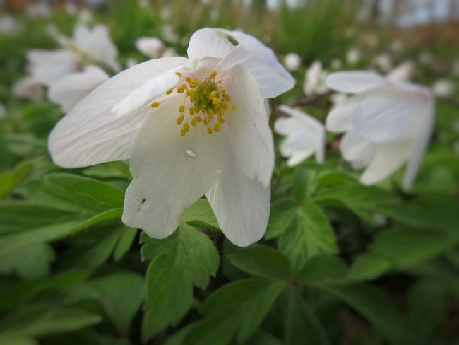 Spring Flowers Wood Anemones Close-up Outdoors