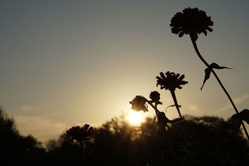 Tranquility Flower Nature Sunset Growth Beauty In Nature Plant Silhouette Fragility