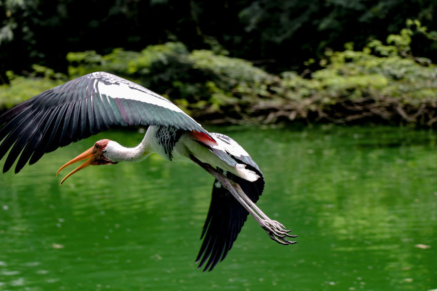 Migratory bird National Zoological Park Speed Photography Bird Photography Trees And Nature Bird Water Flying Close-up Spread Wings Bird Of Prey Vulture HEAD Tropical Bird