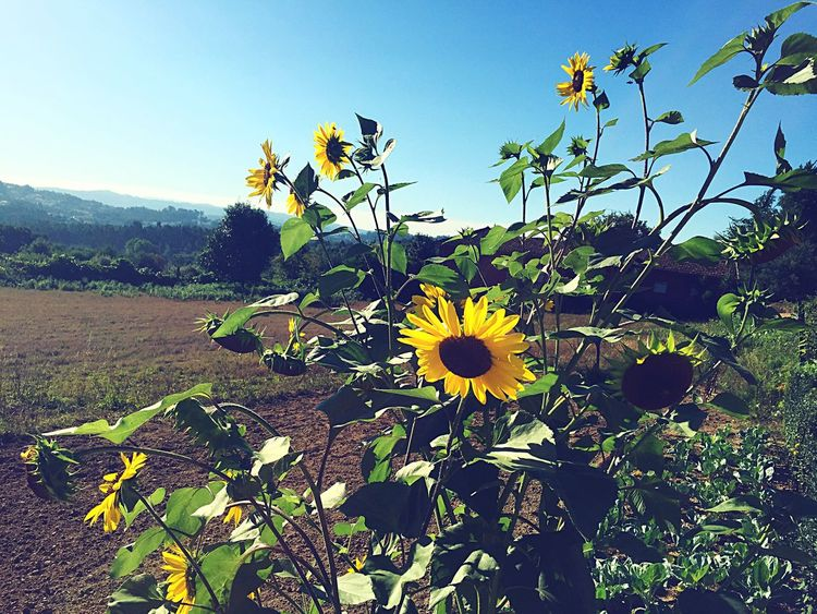 Creative Light And Shadow Flowers Flower Flower Collection Girassol Landscape Countryside Rural Landscape Streetphotography Running