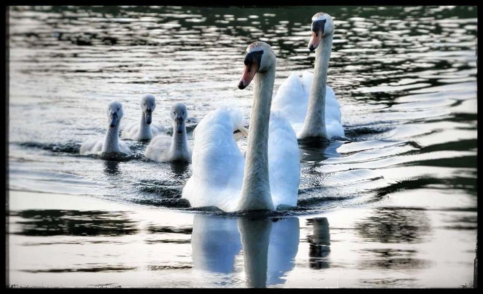 Swan Bird Water Swimming Lake Reflection Floating On Water Motion Water Bird Cygnet Young Bird White Swan