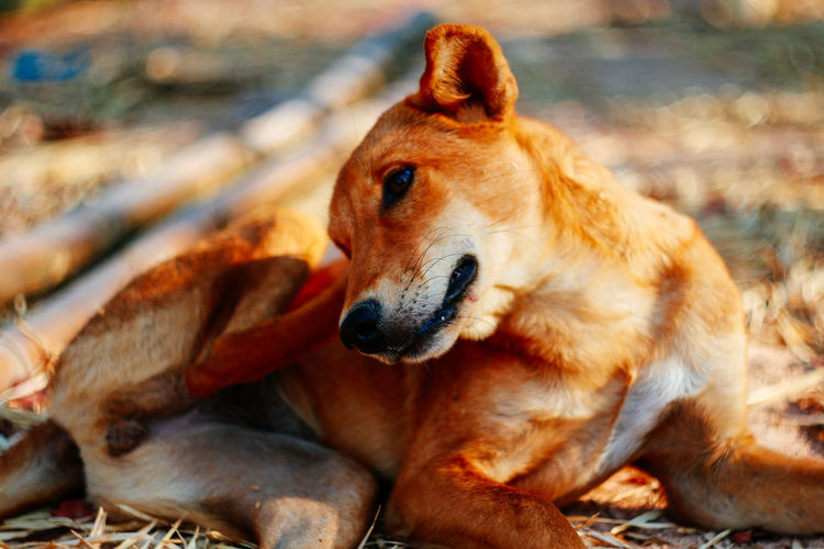 Mammal Animal Animal Themes Dog Canine Vertebrate Domestic Animals Domestic Group Of Animals Pets Two Animals Brown No People Relaxation Day Focus On Foreground Close-up Looking Land Outdoors Animal Head  Care