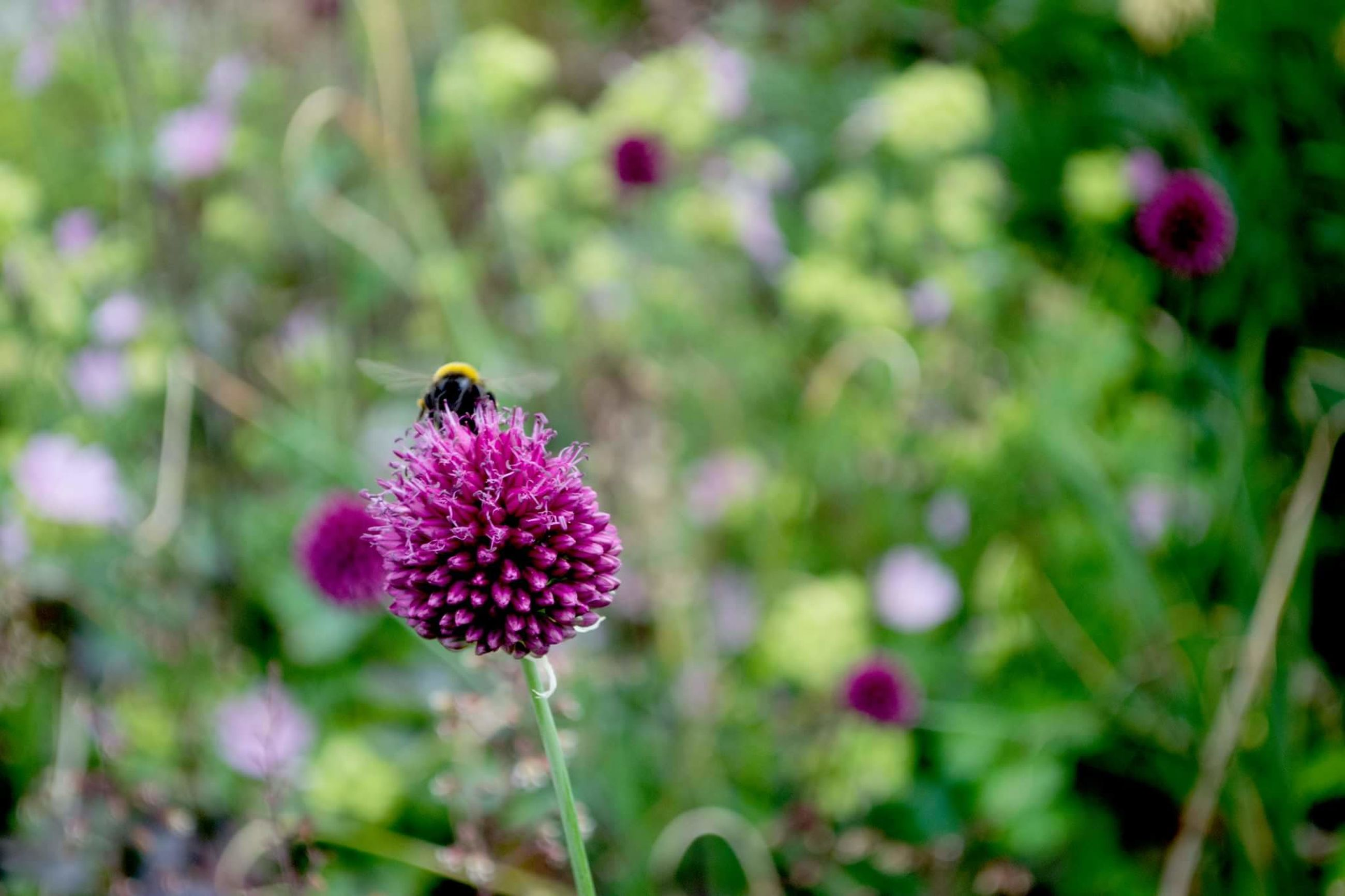 flower, insect, freshness, fragility, growth, focus on foreground, beauty in nature, plant, nature, close-up, petal, flower head, pollination, pink color, blooming, purple, selective focus, stem, day, outdoors, no people, in bloom, green color, botany