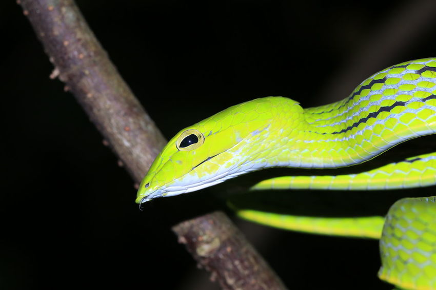 Green snake7 Black Background Reptile Protruding Camouflage Branch Tree Yellow Portrait Eye Animal Eye