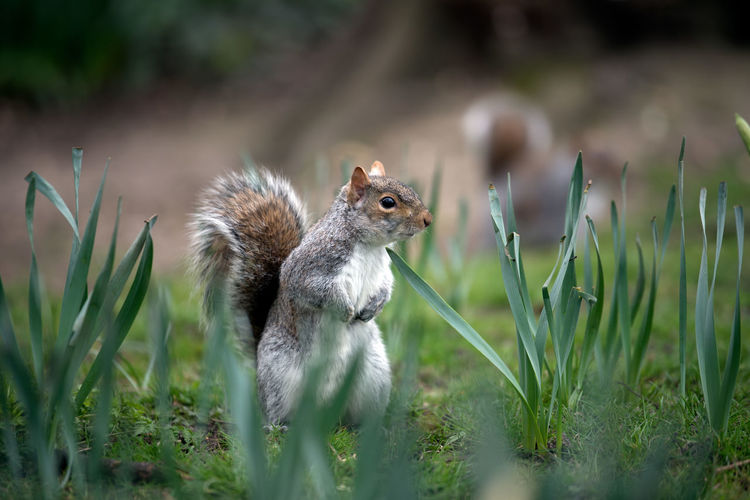 Animal Wildlife Animals In The Wild Daffodils Environment Grass London Mammal Manor House Gardens Nature No People One Animal Outdoors Park Spring Springtime Squirrel Tail