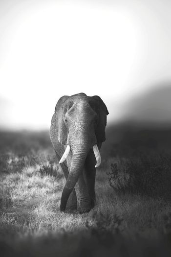 Elephant walking on a field