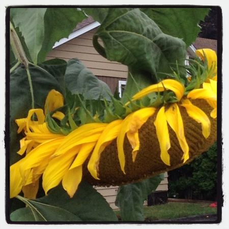 The biggest sunflower I have ever seen Flowers Streetphotography