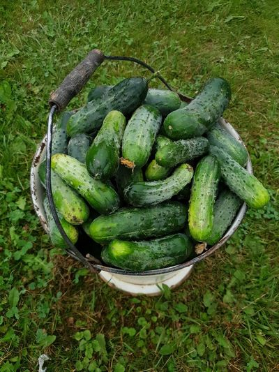 Cucumber harvest Cucumber Bucket Greenery Vegetable Veggies Lithuania Rural Coutryside Basket Vegetable Green Color Food And Drink Raw Food