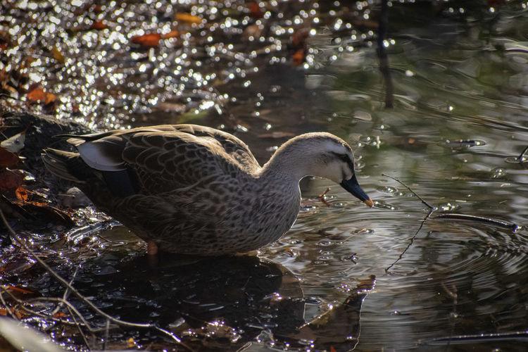 duck Wildbird