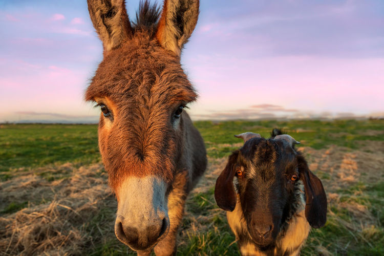 Best friends. Goat Donkey Mammal Animal Themes Animal Domestic Animals Domestic Livestock Pets Sky Field One Animal Animal Body Part Vertebrate Landscape Land Looking At Camera Portrait Nature Animal Head  No People Cloud - Sky Outdoors Herbivorous