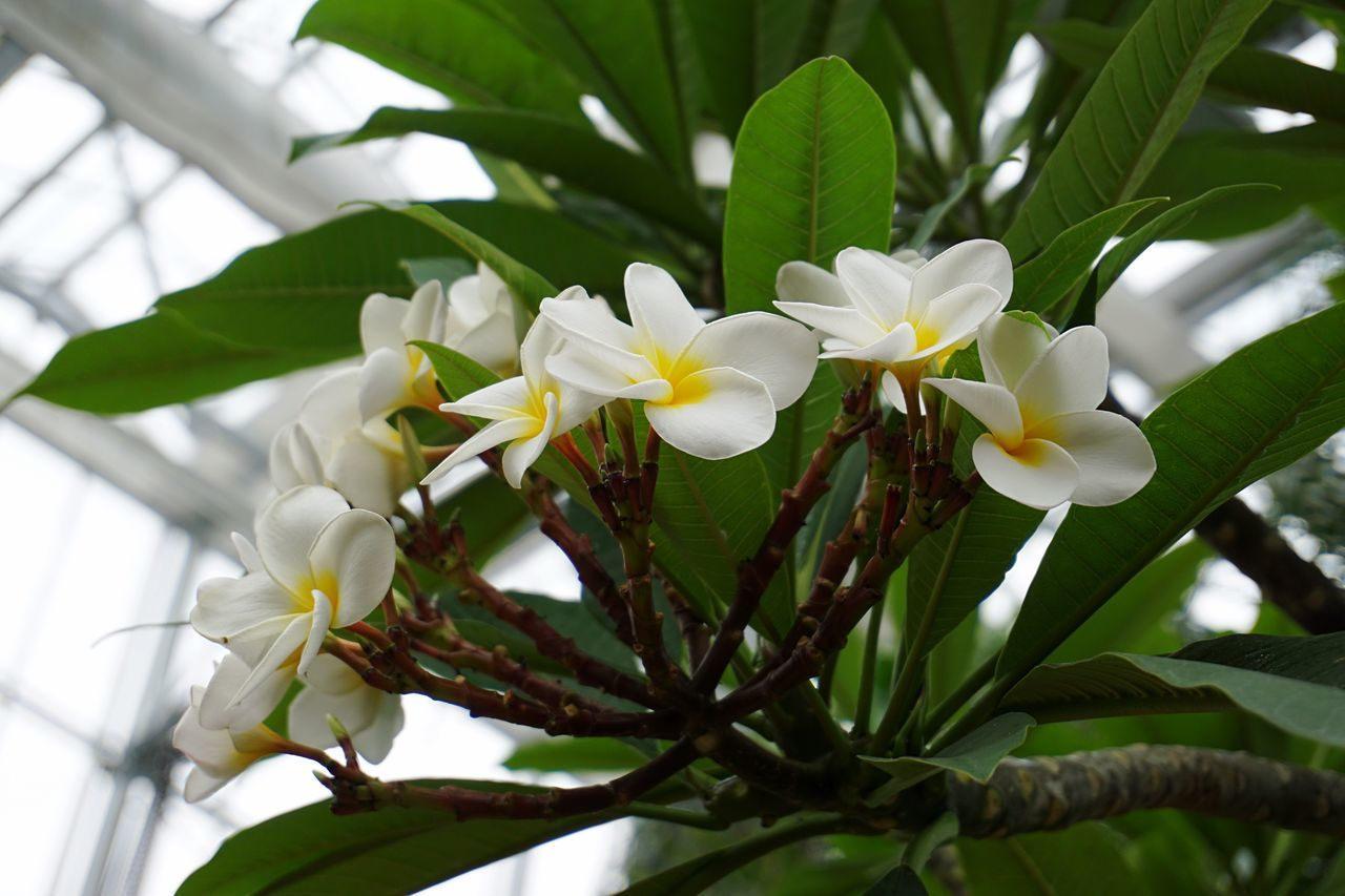 flower, growth, fragility, beauty in nature, petal, nature, freshness, white color, plant, leaf, day, green color, flower head, blooming, no people, outdoors, close-up, frangipani