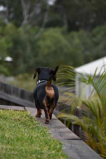 Black dog in domestic garden