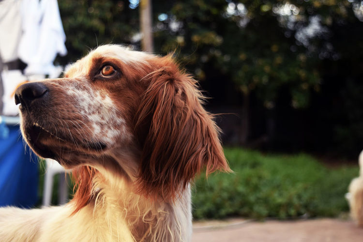 EyeEmNewHere One Animal Dog Animal Themes Pets Domestic Animals Focus On Foreground Close-up Mammal Outdoors No People Tree Day Nature Setter Setteringles DogLove Dogs Pet Portraits