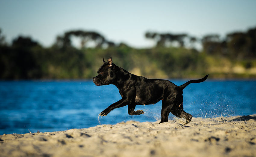 Dog Canine Animal Themes Pets One Animal Domestic Animal Water Day Black Color No People Side View Beach Staffordshire Bull Terrier Terrier Staffie