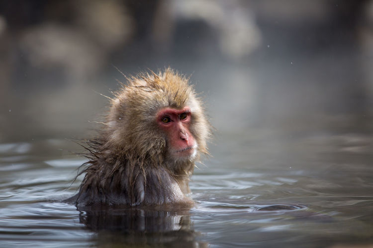 Animal Animal Head  Animal Themes Animal Wildlife Animals In The Wild Cold Temperature Day Hair Hot Spring Japanese Macaque Lake Mammal Monkey Nature No People One Animal Outdoors Primate Vertebrate Water Waterfront