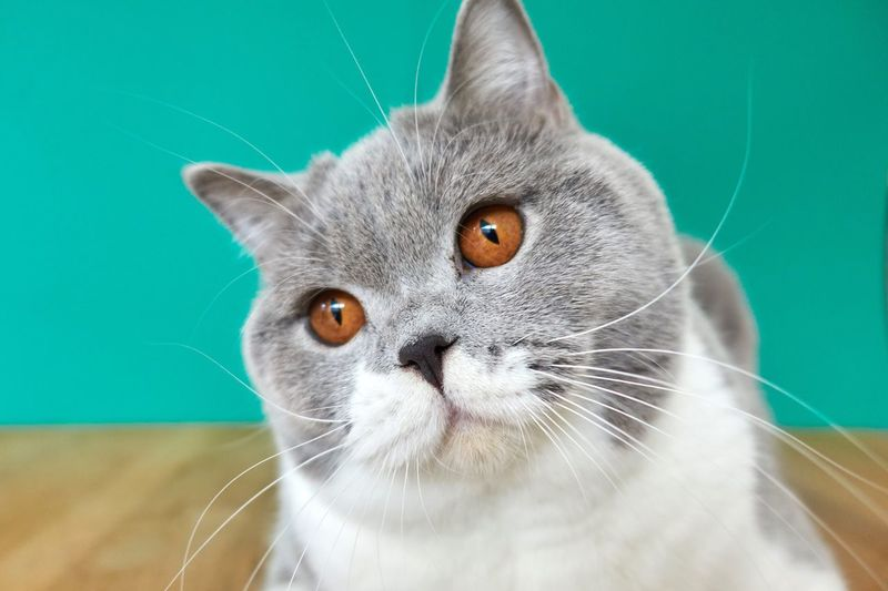 Cat looking with tilted head British Shorthair Cat One Animal Domestic Cat Pets Feline Domestic Mammal