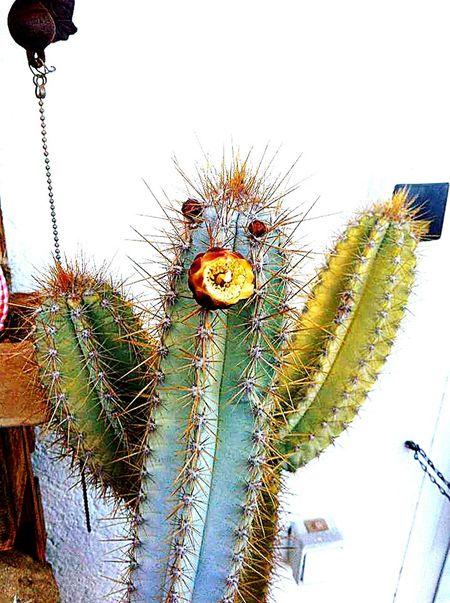 Cactus Flower Cactuslover Cactus Garden
