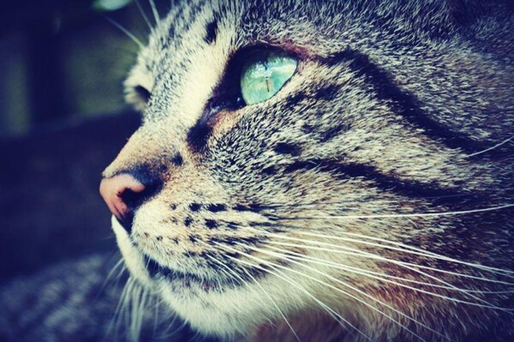 Cat Green Eyes Animal