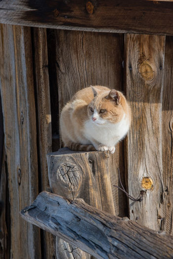 Feb 2019 - Music Meadows Ranch Colorado Cat Barn Winter Perched Fence Post Wood - Material Mammal Ranch Life Domestic Day No People Looking Whisker Wood Pets Domestic Animals One Animal Animal Themes Animal Head  Fence Animal Tabby Cat Barrier Weathered Wood