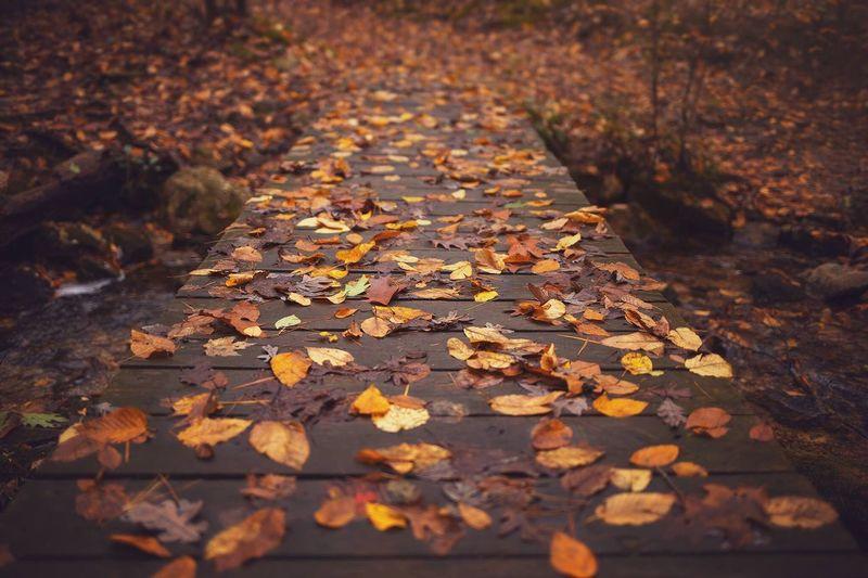 Fallen maple leaves during autumn