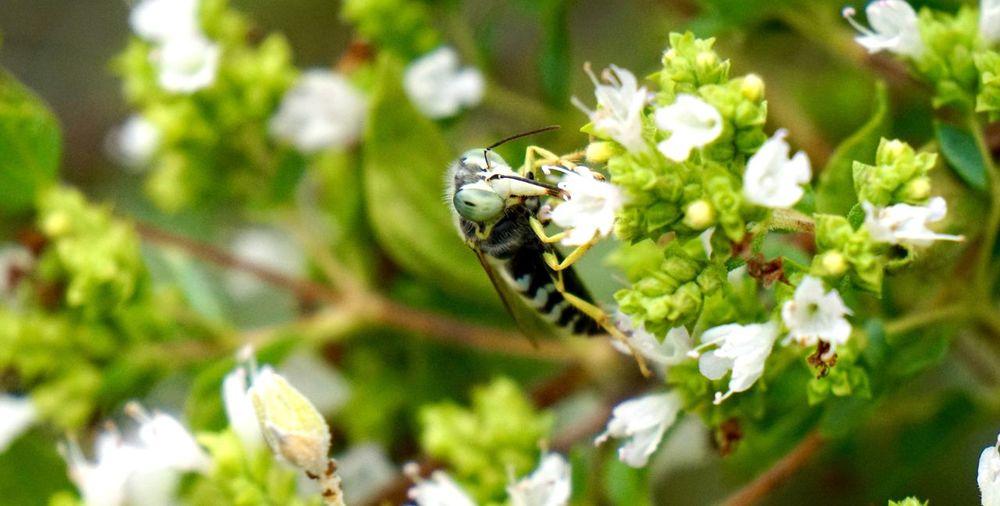 #Garden #herbgarden #macro #oregano #pollinator #wasp Beauty In Nature Blossom Flower Flower Head Freshness In Bloom Insect Pollination White