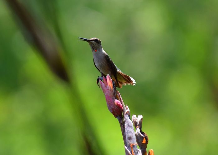 Hummingbird perching on plant
