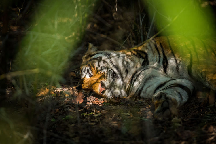 Tiger relaxing on land