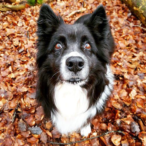 #unterwegs im #wald. #australianshepert #hund #dog #wald #gefährten #aussi #natur #laub Autumn Leaf Change Animal Themes Nature No People One Animal Outdoors