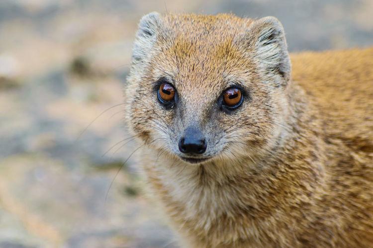 Close-Up Portrait Of Mongoose