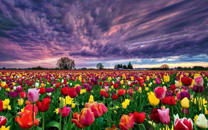 Roses Flower Purple Field Beauty In Nature Nature Plant Sky Freshness Cloud - Sky Sunset Dramatic Sky Abundance Fragility Landscape Scenics Multi Colored Blue Flowerbed Crop  Red