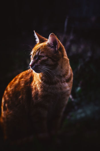 20170327 - Nightfall Animal Themes Black Background Brown Cat Cat Lovers Catlovers Catoftheday Cats Cats Of EyeEm Cats 🐱 Catsagram Catsofinstagram Cat♡ Close-up Day Domestic Animals Domestic Cat Feline Mammal Nightfall No People One Animal Outdoors Pets Tabby Cat