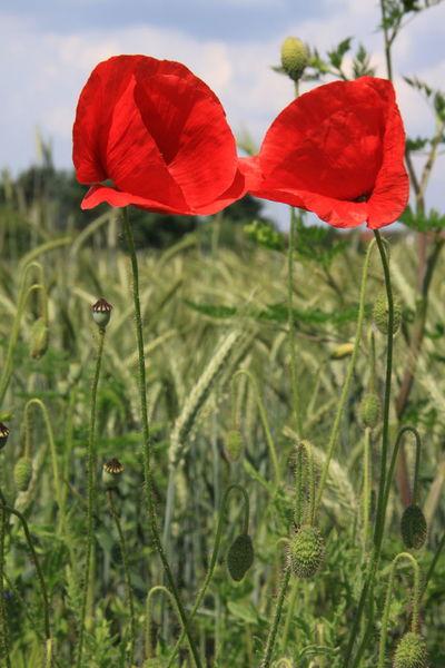 Ein Klatschmohn Pärchen Klatschmohnblüte Klatschmohn 🍀 Blumenpracht🌺🍃 Little Things Nature Lover Natur Draußen Beautiful Beautiful Nature Naturliebhaber Wiesen Felder