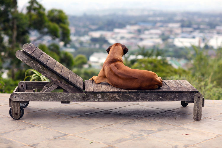 Rear View Of Dog Relaxing On Old Wooden Lounge Chair