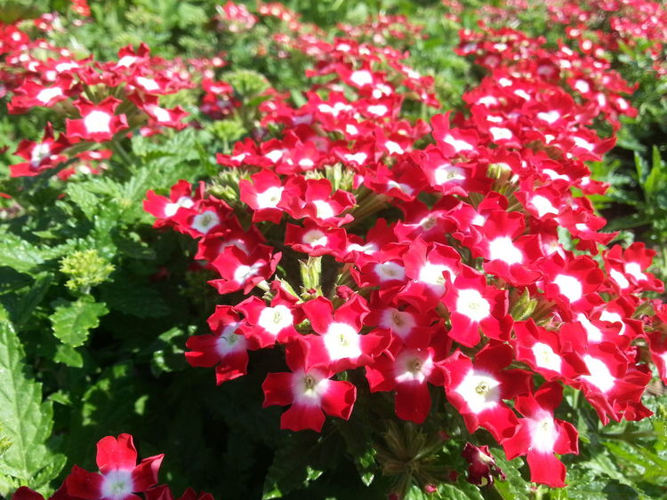 Beauty In Nature Blooming Chiangmai Close-up Day Flower Flower Head Fragility Freshness Growth Nature No People Outdoors Petal Plant Red