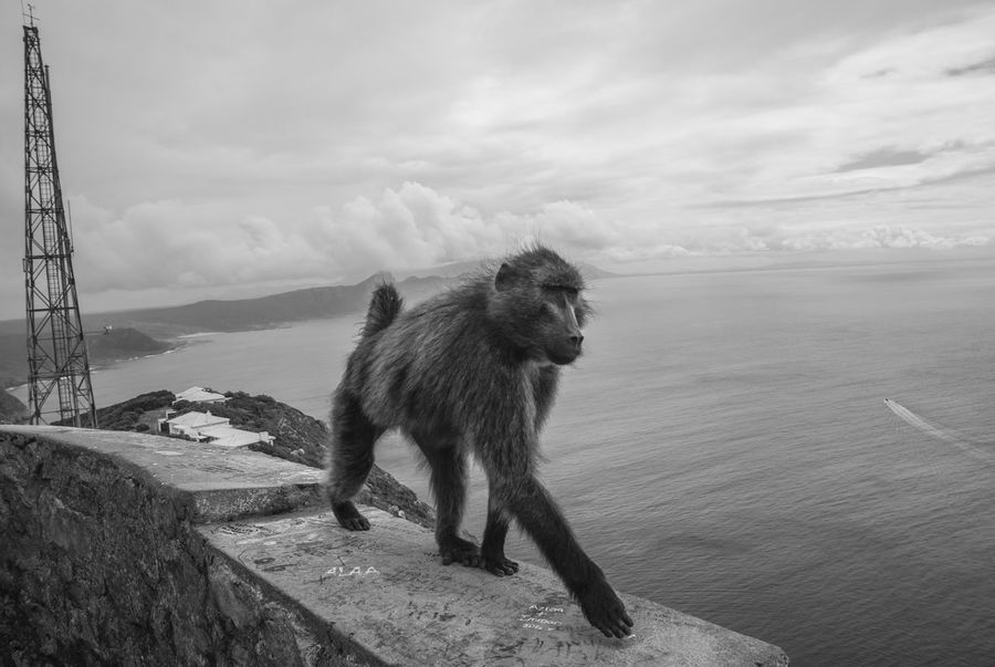 King of the Cape King South Africa Animal Themes Animals In The Wild Baboon Baboon Portrait Beauty In Nature Bnw_captures Bnw_collection Bnw_society Bnw_worldwide Cape Of Good Hope Cloud - Sky Dynamic False Bay Majestic Majestic Creature Monkey Monochrome Nature Ocean One Animal Outdoors Sea Wildlife Black And White Friday Black And White Friday