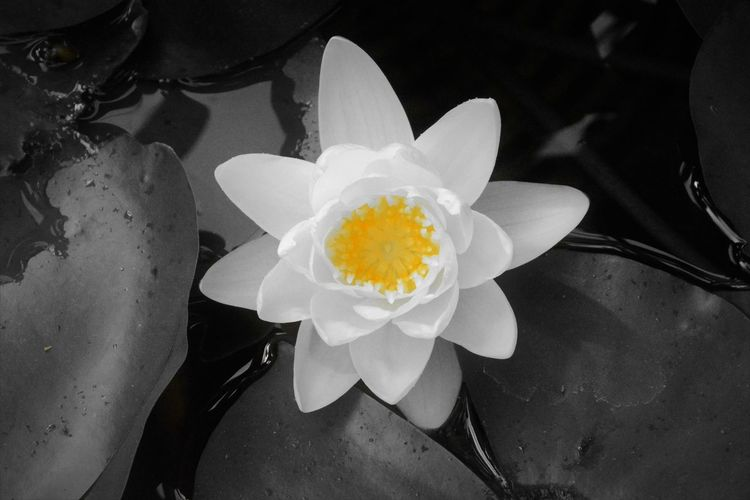 Waterlily Beauty In Nature Blooming Camera Test Close-up Flower Flower Head Fragility Freshness Growth Nature No People Outdoors Petal Water