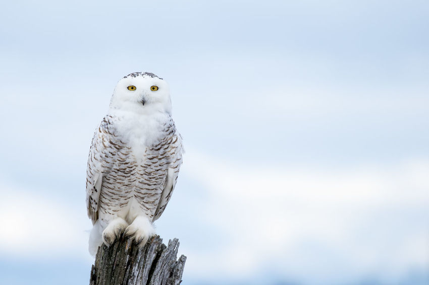 Snowy Owl, Bubo Scandiacus, perched on a post making eye contact with piercing yellow eyes. Animal Themes Animal Wildlife Animals In The Wild Beauty In Nature Bird Bird Of Prey Bubo Scandiacus Close-up Day Nature No People One Animal Outdoors Owl Perching Portrait Sky Snowy Owl