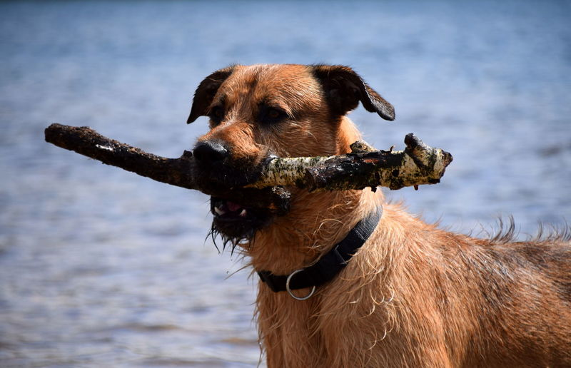 Close-up of dog holding stick in mouth