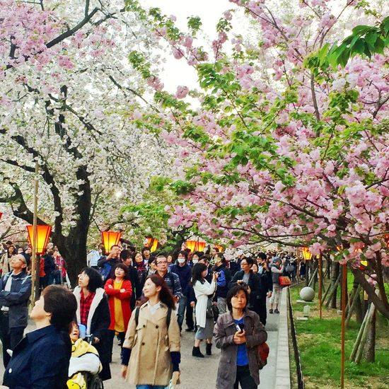 Tree Flower Growth Real People Nature Men Women Large Group Of People Outdoors Cherry Tree Leisure Activity Cherry Blossom Beauty In Nature Day Branch Crowd Fragility Sky Freshness Adult Sakura Sakura Festival Life