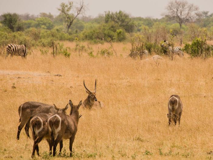 Waterbucks in savannah off in zimbabwe, south africa