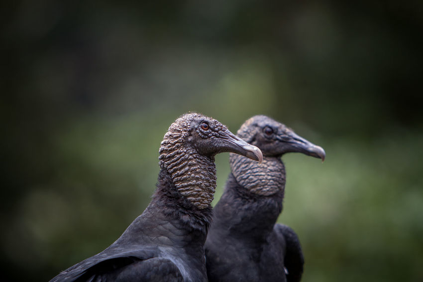 Two vultures focussing on me. Tranquility Animal Themes Animal Wildlife Animals In The Wild Bird Birds Black Swan Bokeh Bokeh Background Close-up Focus On Foreground Focussed No People Outdoors Pair Of Animals Pair Of Birds Predator Tranquil Scene Tranquility Scene Two Animals Two Birds Vulture Vultures
