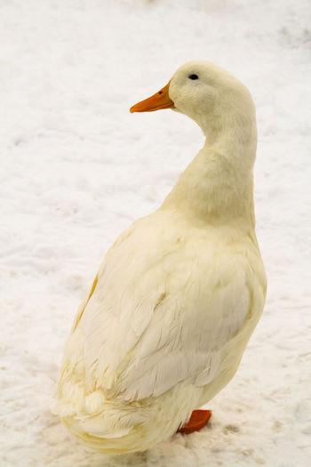 Full length of duck standing on snow