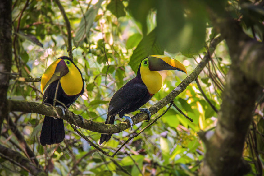 Keel-billed Toucans in Costa Rica Animal Themes Animal Wildlife Animals In The Wild Beauty In Nature Bird Birds Branch Costa Rica Day Low Angle View Nature No People Outdoors Perching Rainforest Togetherness Toucan Toucans Tree