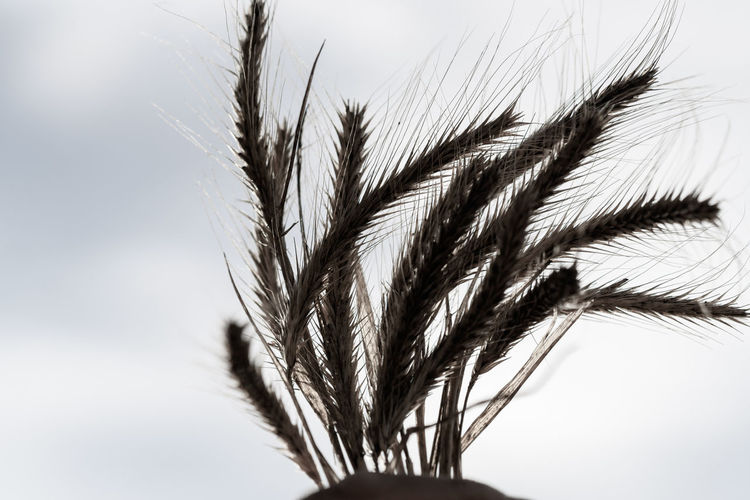 Close-up of wheat plant against sky