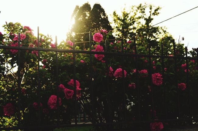 Plant Flower Flowering Plant Nature Sky Tree Beauty In Nature Sunlight Freshness Growth Fragility Vulnerability  No People Day Lens Flare Pink Color Outdoors Sunny Garden Front Or Back Yard