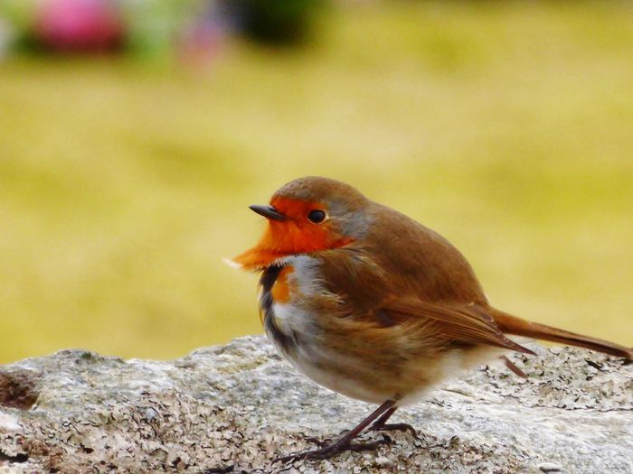 Robin Redbreast Winter Nature Photography Nature Birds Of EyeEm  Birds One Animal Animals In The Wild Animal Themes Bird Focus On Foreground Animal Wildlife Perching No People Nature Day Close-up Beauty In Nature Outdoors Robin